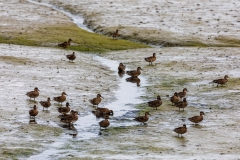 Ducks on the marshes