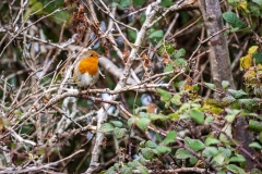 Posing robin, Lymington-Keyhaven Nature Reserve