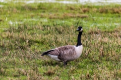 Canada goose, Keyhaven Marshes