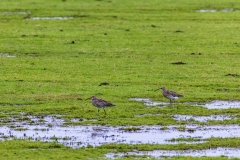 A pair of curlew, Keyhaven Marshes