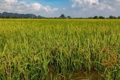 Rice field, Ninh Binh Province