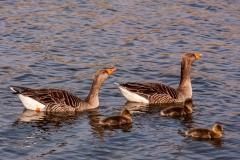 Geese on Fleet Dyke