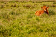 Broadland Cows