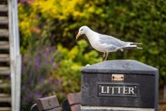 Seagull, Robin Hood's Bay