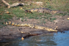 Crocodile, Mary River Billabong