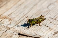 Cape Breton grasshopper