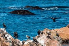 Cape Breton cormorants