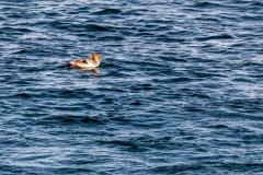 Bay St. Lawrence seabird