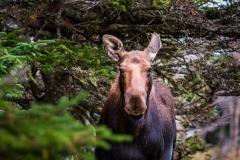 Moose, Cape Breton Highlands