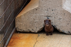 North American mink