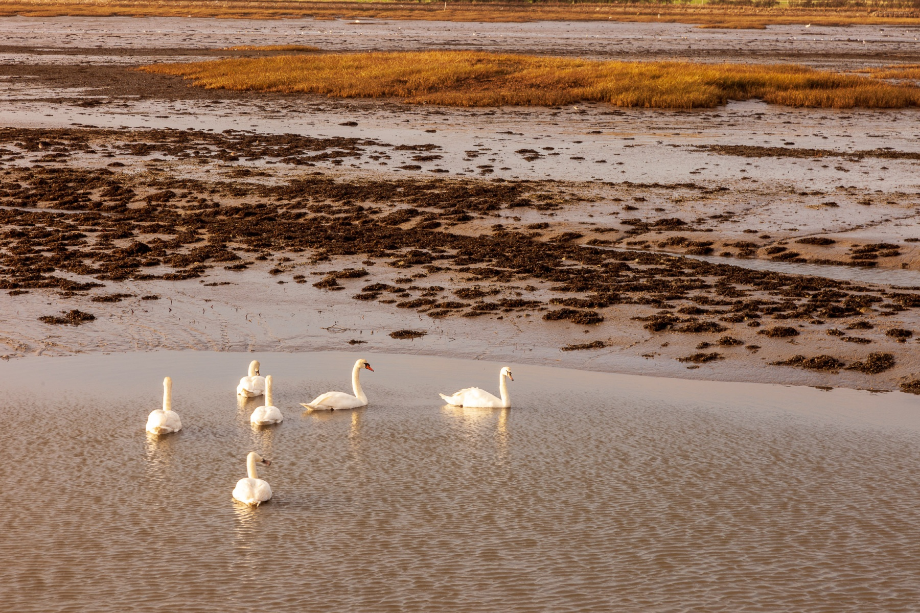 Swans in Chichester Harbour