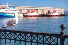 Pier 7 seagull