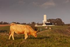 Cows near Ales Stenar