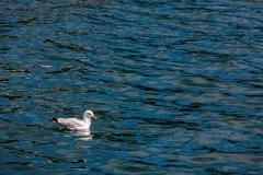 Portree seagulls