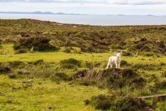 Trumpan Head lamb