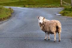 Dunvegan sheep