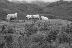Snowdonia sheep