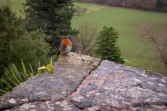 Robin at Dunster Castle