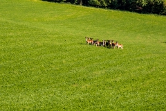 A herd of deer look on warily from a farmland field