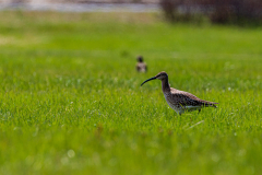 Eurasian whimbrel in the grass, Þingvellir National Park