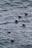 Atlantic puffins out to sea, south Iceland