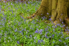Bluebell woods, Polesden Lacy