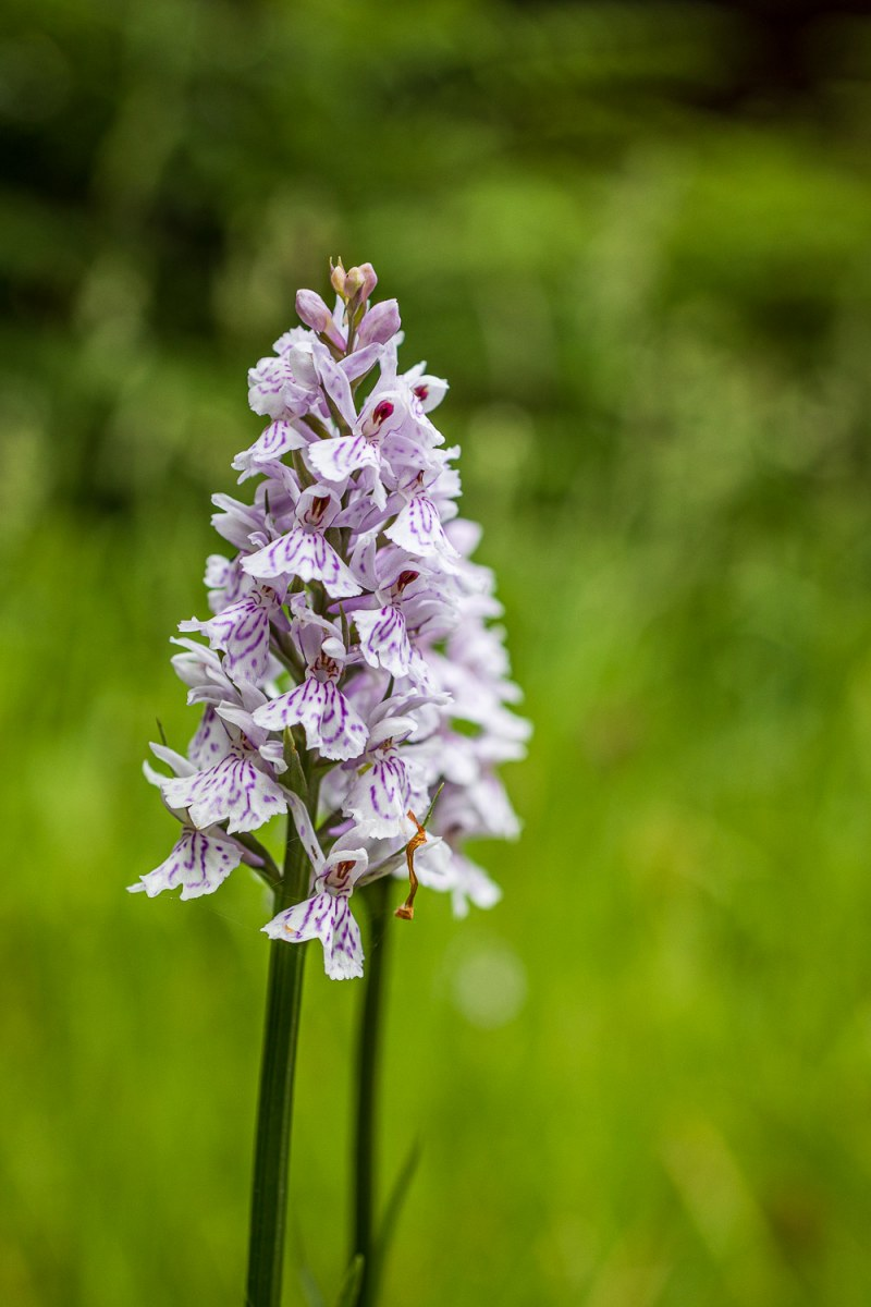 Macro shot of a common spotted orchid against a green background