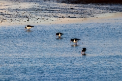 Oystercatchers in Chichester Harbour