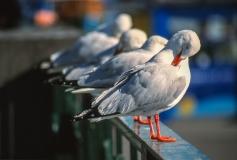 Line of seagulls