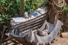Viñales chickens
