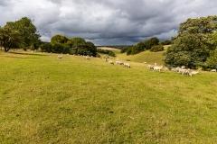 Sheep near Tollard Royal