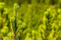 Pine regrowth