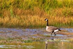 Madison River Goose