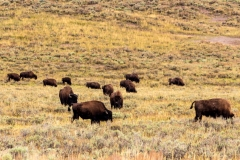 Hayden Valley Bison