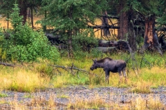 Lamar Valley Moose