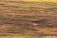 Pronghorn deer