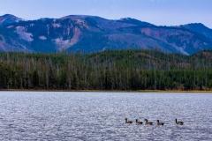 Riddle Lake Geese