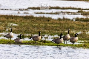 Canada geese, Keyhaven Marshes