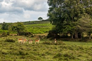 Deer in the northern New Forest