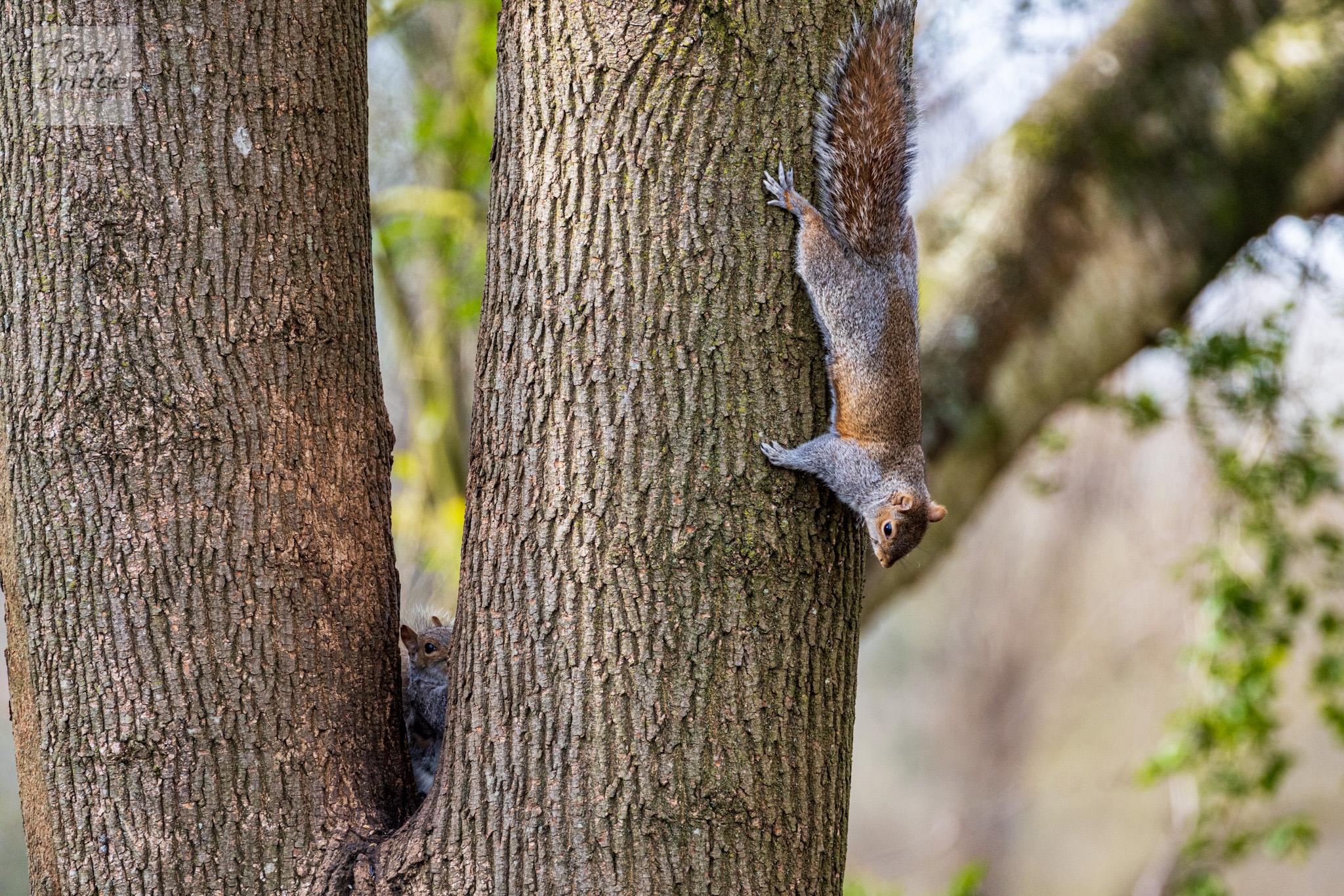 Squirrel hide and seek