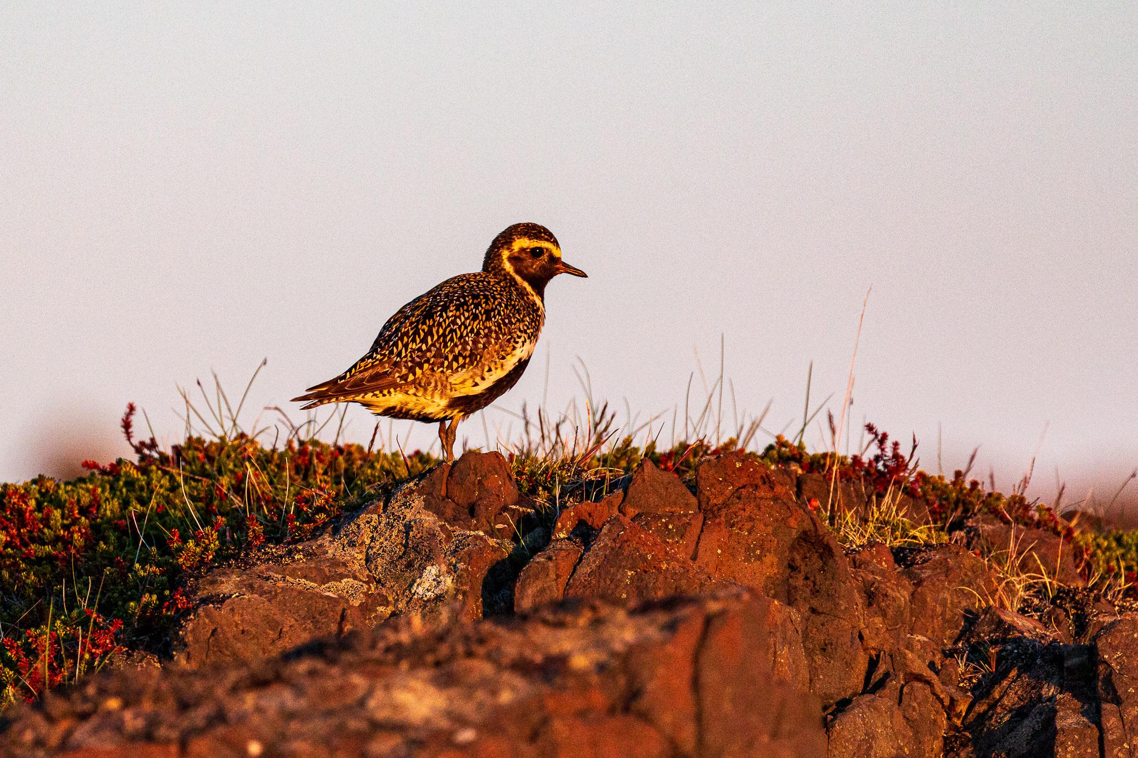 Golden Plover in the evening sun